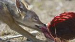 Black-backed jackal tearing at a carcass