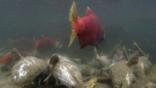 Sockeye salmon swimming over dead salmon at spawning ground
