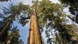 Looking up the trunk of a giant sequoia