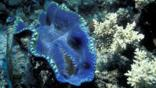 Giant clam on the Great Barrier Reef