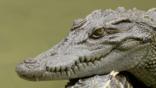 Siamese crocodile resting its head