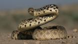 Bullsnake coiled and ready to strike