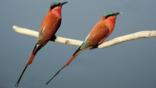 A pair of carmine bee-eater birds on a branch