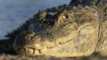 A spectacled caiman's head in close-up