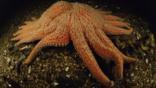 A sunflower starfish