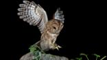 Tawny owl landing on a tree stump (c) Phil Winter