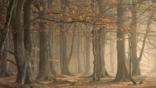 European beechwood in pale autumnal sunlight