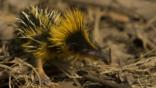 A yellow streaked tenrec in Madagascar