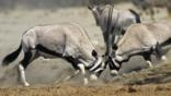Two male gemsbok antelopes clash head on