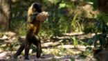 Brown capuchin monkey using a rock as a tool to break open Brazil nuts