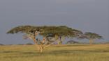 Acacia trees on the grassland of the Serengeti