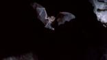 Greater horseshoe bat flying at night towards camera