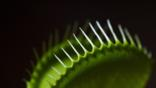 Close-up of a venus flytrap