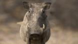 A portrait of a warthog