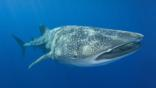 A whale shark