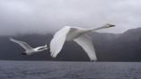 A pair of whooper swans in flight through fog over water