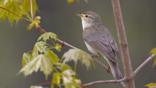 Willow warbler perched on a branch