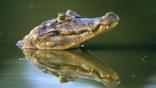 A Yacare caiman's head above water