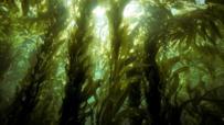 Giant kelps