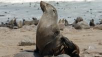 Walruses, seals and sea lions