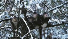 Yunnan snub-nosed monkey