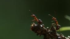 Hairy wood ant