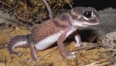 Knob-tailed geckos