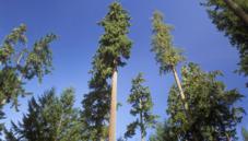 Modern conifers