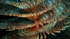 Polychaete worms