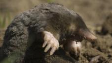Moles and desmans