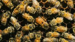 Honeybee workers surrounding an egg laying queen