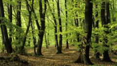 European beech woodland in spring