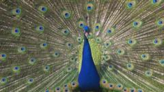 A male peafowl (a peacock) displaying his tail feathers