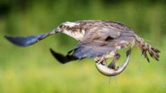 Osprey in flight with fish (c) Chris Wilson