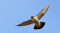 Peregrine falcon in flight (c) Jamie Skipper