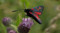 Burnet moth