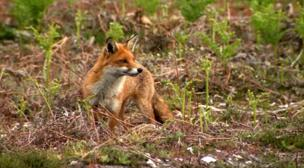 The Purbeck Red Fox