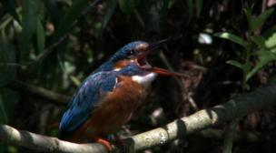 The Wensum Kingfishers