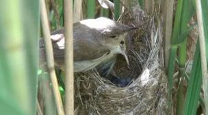 The Pensthorpe Reed Warbler