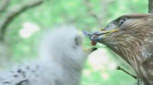 Adult buzzard feeding meat to its young