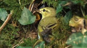 Warbler at its nest, feeding grub to chick