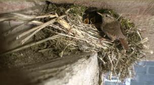 The Pensthorpe wren chicks in their nest being fed