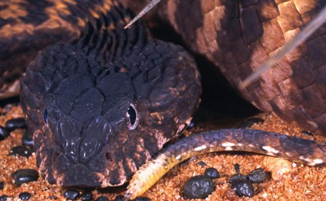 The head of a Pilbara death adder