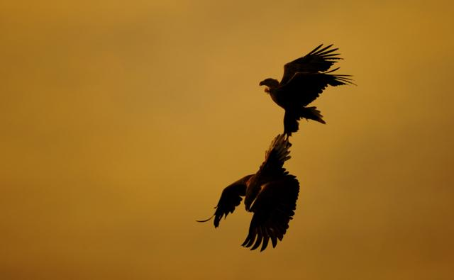 A pair of white-tailed sea eagles performing aerial courtship display at sunset