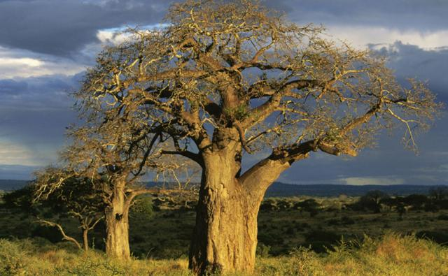 Tanzania at dusk with baobab trees