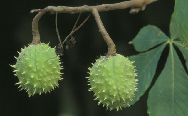 The fruit of a horse chestnut tree