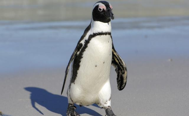 African penguin walking along the beach