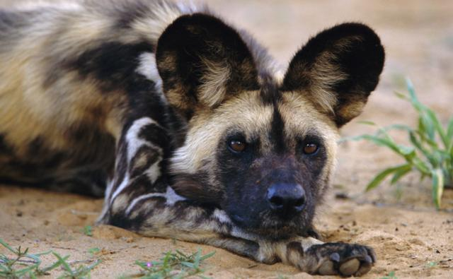 African wild dog resting on the ground