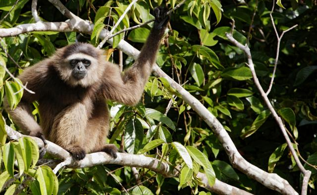 Agile gibbon sitting in a tree