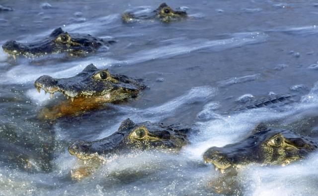 A line of Paraguayan common caimans in the water